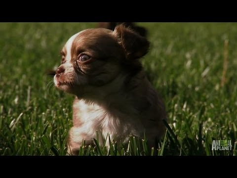 Pocket-Size Pups Play in Tall Grass | Too Cute!