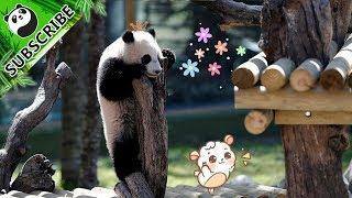大熊猫というからには、やはり猫要素が含まれるのか?カゴに入りたいパンダたち総集編
