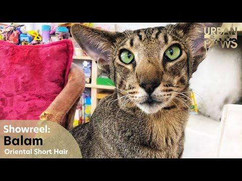 Cat Training: Balam (Oriental Short Hair)