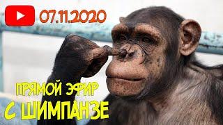 Дан Запашный проводит прямой эфир с шимпанзе | Приколы 2020