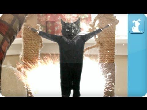 Gangnam Style - PSY - Petody - Goldfish Style (Cat)