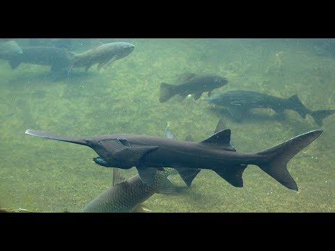 Paddlefish Q And A With Feeding