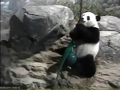 2015-05-05 Bao Bao's Pearl-on-a-Stick Challenge