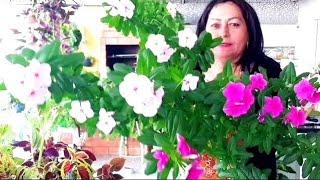 Plantas Gloxinia E Vincas – Como Cuidar
