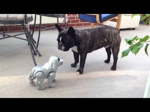 Toy Robot Dog meets Real Frenchie Dog