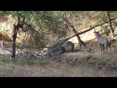 Sambar Deer Alarm Call - Ranthambore National Park Zone No. 2