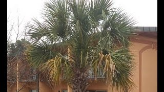Sabal Palmetto Palms in Athens, GA