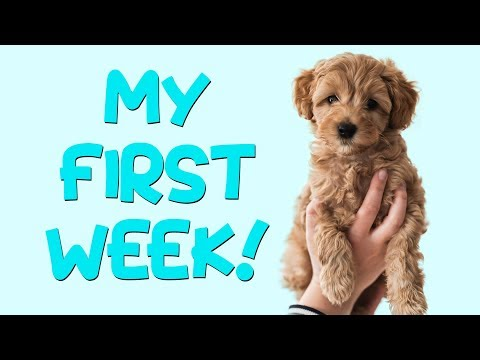 MY FIRST WEEK! | Flip the Australian Labradoodle