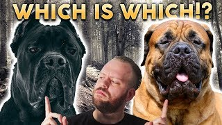 CANE CORSO OR BULLMASTIFF! Whats The Difference!?