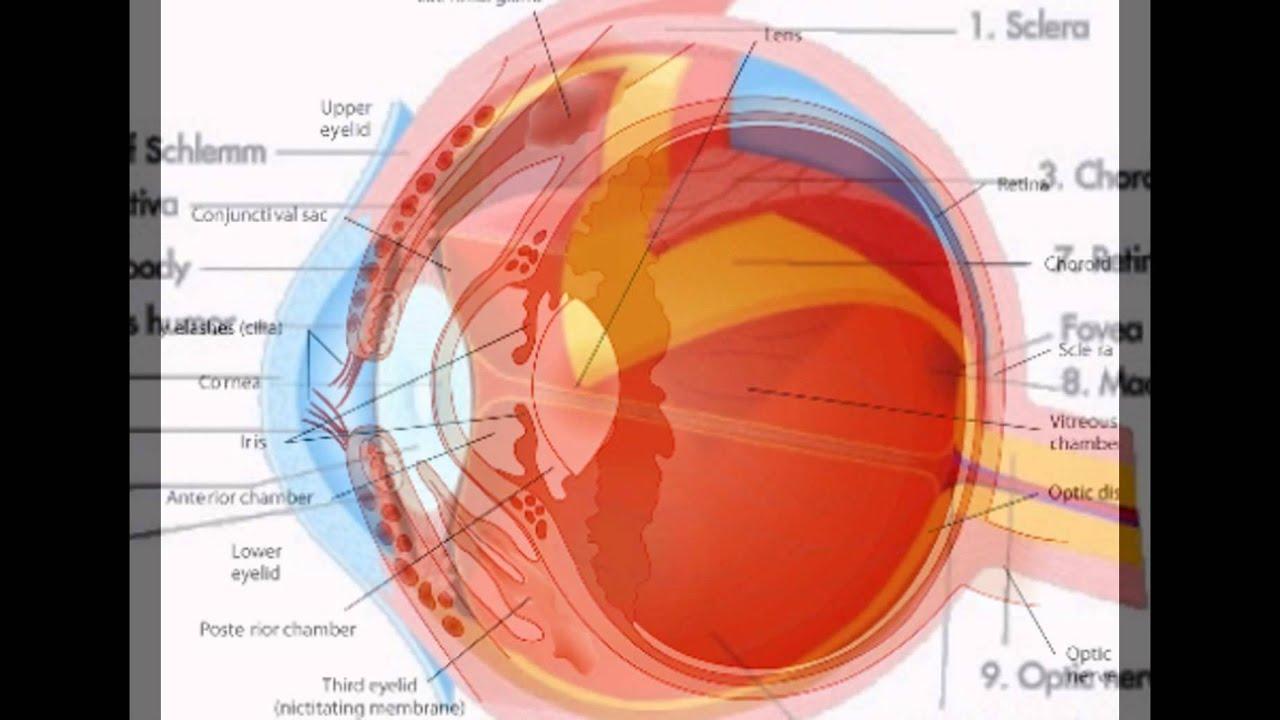 External Eye Anatomy Youtube