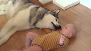Хаски и малыш, Husky and baby