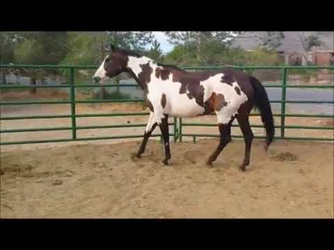Whispers From Heaven APHA Bay Overo Mare For Sale