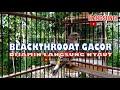 Blackthrooat Gacor Masteran Kenari Kekinian  Mp3 - Mp4 Download