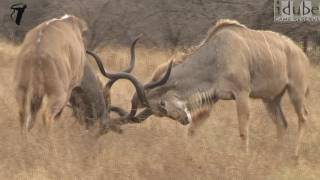 Magnificent Kudu Bulls Fight #youtubeZA