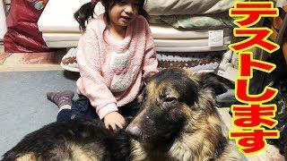 grandchild and #GermanShepherd #シェパード犬#子供と大型犬 大型犬・...