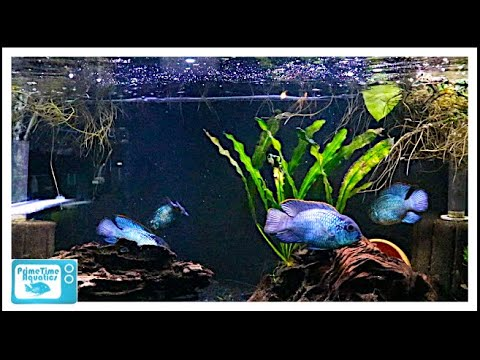 Nine Great Beginner Cichlids!