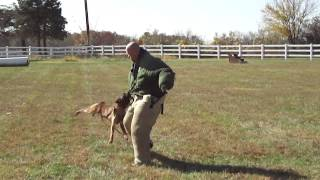 Police And Military K9 Training- Basic Bite Work With Bite Suit