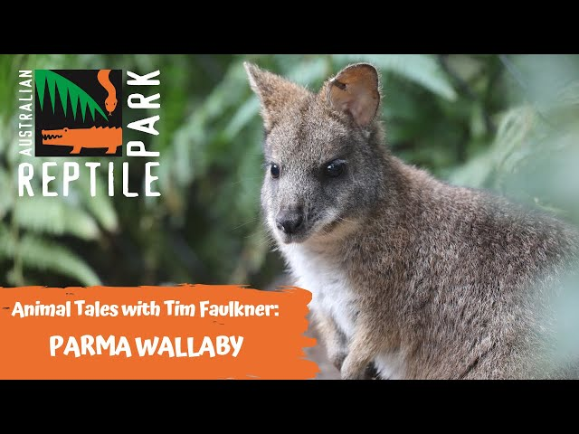 ANIMAL TALES WITH TIM FAULKNER | EPISODE 29 | PARMA WALLABY