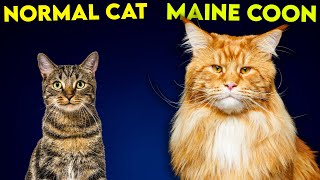 Maine Coon Cat Vs Normal Cat  So Different You'll Be SHOCKED