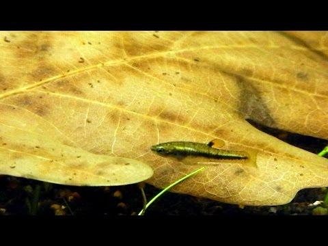 Самая мелкая живородящая рыбка - формоза. Идеальная рыбка для маленького аквариума.