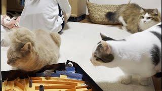 毛玉を乗せられている猫に警戒感がスゴイ猫