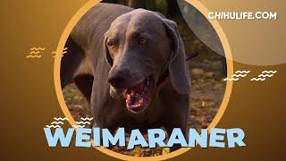 Weimaraner  Unique dog Breed