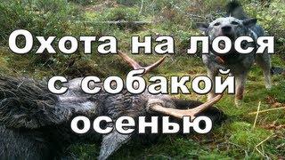 Охота на лося с собакой осенью видео 2012-2013 Moose hunting Russia.