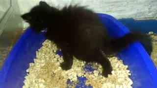 Как приучить котенка ходить в лоток. Котенок Мейн кун ходит в лоток.