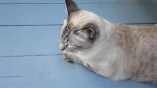 Bad Kitty talking back, Lynx Point Siamese