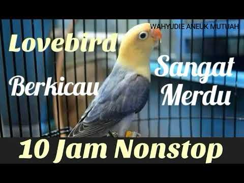 Full 10 Jam Nonstop Kicau Burung Lovebird Sangat Cocok Buat Pancingan Burung Kesayangan Anda