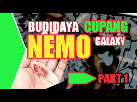 Nemo Galaxy Cupang Fish Cultivation Youtube