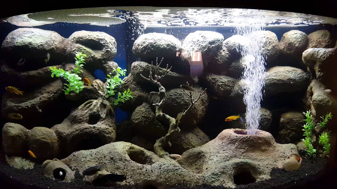 acquario di ciclidi malawi youtube