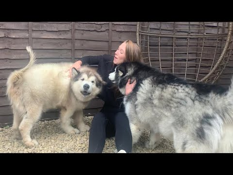 Giant Dogs Attack New Visitor With Cuddles Phil S Favourite Person Too Cute Youtube Two giant alaskan malamutes also known as (milomute) email: giant dogs attack new visitor with cuddles phil s favourite person too cute