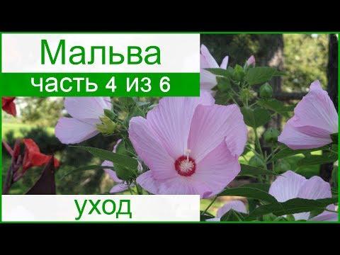🌺 Уход за мальвой в саду, болезни и вредители мальвы