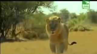 بالفيديو.. رجل أعزل يستخدم حيلة ذكية ليتغلب على أسد