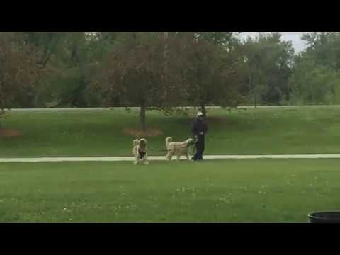 When Afghan Dogs Attack