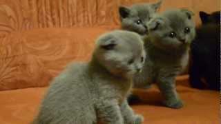 Котята-британцы на продажу.