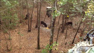 Archery Hog Hunt, Florida 2013