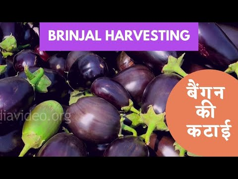 Brinjal Farm, Boregaom, Nagpur