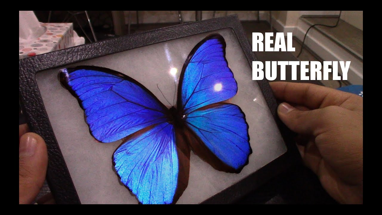 Real Framed Butterfly Blue Morpho Didius Peru And Indonesian Papilio Ulysses Youtube