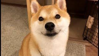 柴犬こてつ君の天然ボケが愛しい。