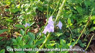 04-Cây Đuôi chuột là cây gì? Cây Đuôi chuột có tên khoa học là Stachytarpheta jamaicensis (L.,)