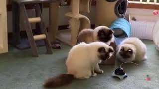 Birman Cats Funny Video Compilation.