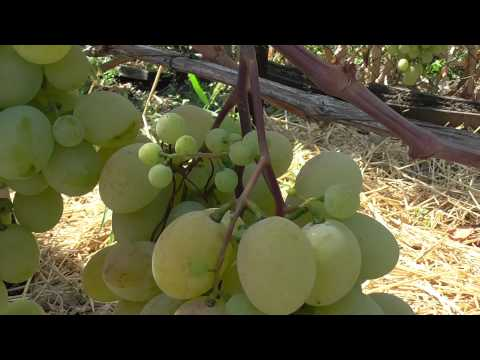 Талисман - столовая форма винограда раннесреднего срока созревания.