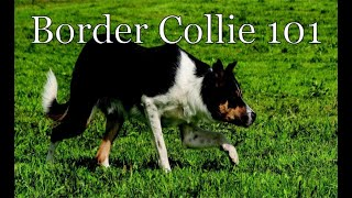 #BorderCollie is this breed right for you? Picking the right puppy