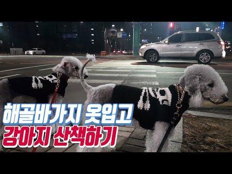 흔한 중형견 두마리의 밤 산책 /pet dog Bedlington Terrier puppy walk