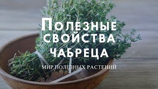 видео Трава чабрец - лечебные свойства и противопоказания. Фото