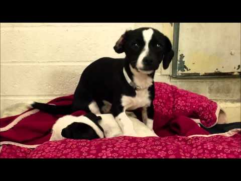 Terrier puppies : Two 3 Months Terrier Puppies At The Shelter | Puppies Kissing