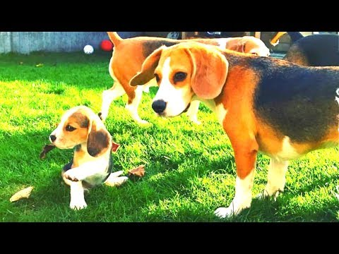 Cute Beagle Puppy only 8 weeks old plays with older beagles.