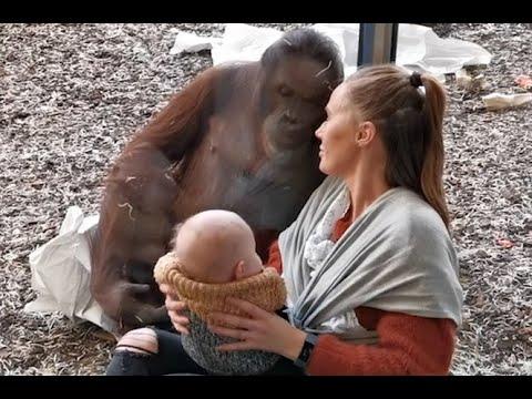 Walmart Jeff - Orangutan Bonds With Breastfeeding Mom